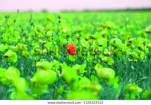 Bright retro macro photo of a beautiful poppy field with unusual shades of color