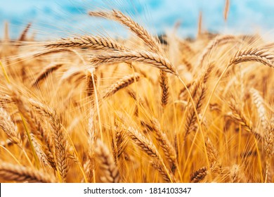 Bright ripe cereal field - yellow wheat against a blue sky - harvesting - Shutterstock ID 1814103347