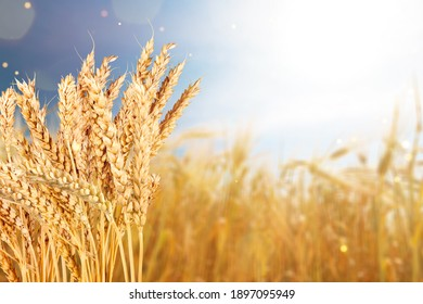 Bright ripe cereal field - yellow wheat against a blue sky - harvesting