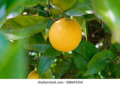 Bright ripe orange, lemon on tree surrounded by green lush leaves