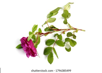 Bright rose, branch with green leaves and thorns, large bud, white background. Top view, flat lay, place for text, copy space.