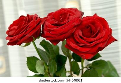 bright rose flowers