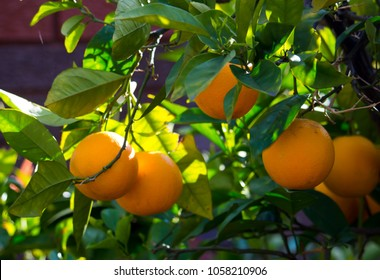Bright round citrus fruit Washington navel oranges in late winter ripening on a tree in a home garden are juicy and sweet.