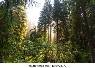 Bright scenery in a mountain fir-tree forest at sunrise, with beautiful sun rays, in summer