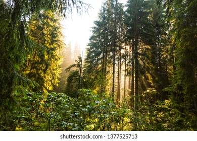 Bright scenery in a mountain fir-tree forest at sunrise, in summer