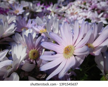 Bright Senetti flowers blooming in spring May 2019