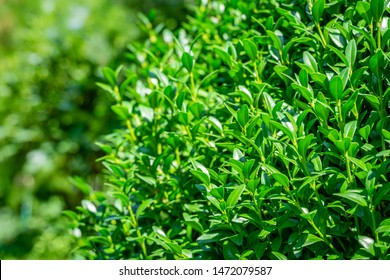 Bright shiny green foliage of boxwood Buxus sempervirens as the perfect backdrop for any natural theme, summer green landscape, fresh wallpaper. There is a place for your text. Selective focus
