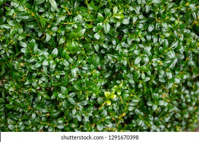 The bright shiny wet green foliage of boxwood Buxus sempervirens as the perfect backdrop for any natural theme. Boxwood wall in natural conditions. There is a place for your text. Selective focus.