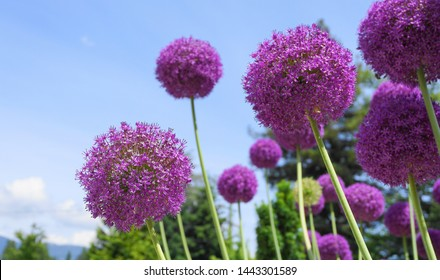 Bright and showy Allium Giganteum flowers close up. Vivid giant balls of blooming Allium flowers. Common name Flowering Onion.