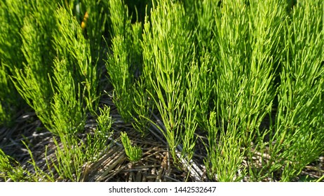 Bright and showy green Horsetail herb meadow close up.