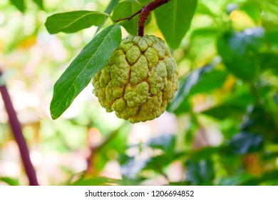 Bright single custard apple fruit (sugar apple or sweetsop) on the branch