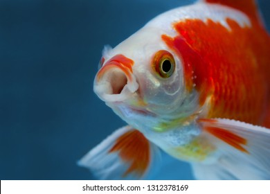 Bright spotted red and white freshwater fish in fishtank close with mouth wide open looking at cam, Face portrait on blue backdrop