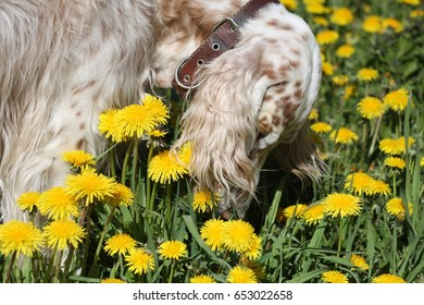 Bright spotty dog english setter smelling spring yellow flowers dandelions
