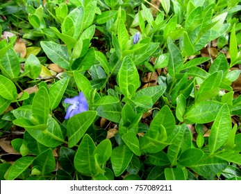 Bright spring background of green stems with leaves and blue periwinkle flowers. Young vinca sprouts cover the ground strewn with yellow last year's dry leaves