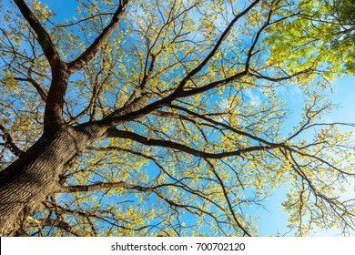 Bright spring foliage of oak against a deep blue sky background