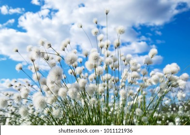 Bright spring landscape with arctic cotton on the sky background