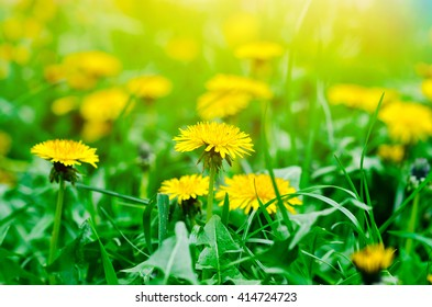 Bright spring natural background with yellow dandelions on the green field