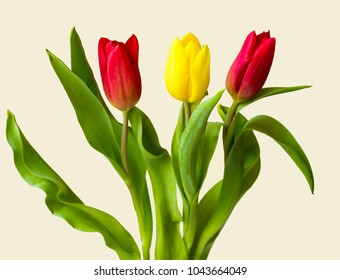 Bright spring tulips on isolated background