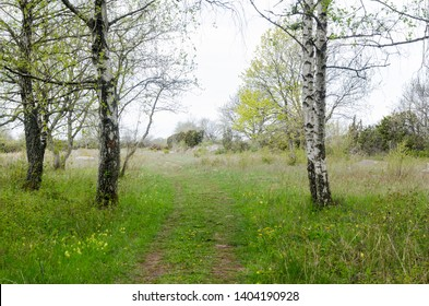 Bright springtime view with green grass and birches by a footpath