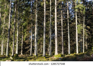 Bright spruce tree forest with sunlit tall trees