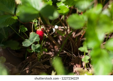 Bright strawberries among green foliage