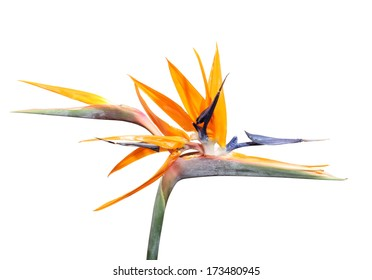 Bright Strelitzia flower South Africa's national flower