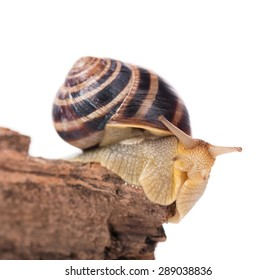 Bright striped snail on the old stub isolated over white background
