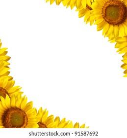 Bright studio shot of beautiful sunflowers decorating the white background