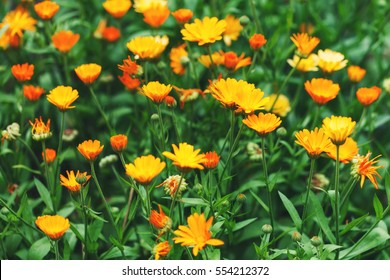 Bright summer background with growing flowers calendula, marigold.