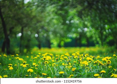Bright summer lawn with yellow flowers and a high fresh green grass is a magical place for a picnic. Rest on the nature on a hot summer day. Soft focus and beautiful bokeh.