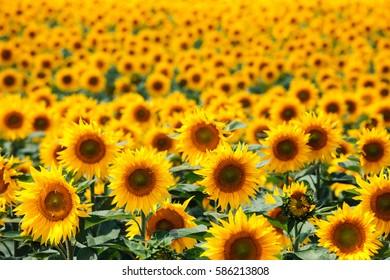 Bright summer sunflower field