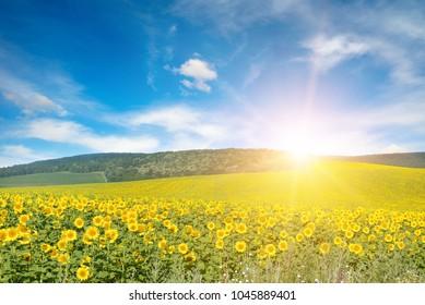 Bright sun above sunflower field. Copy space