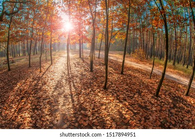Bright sun in the autumn forest. Oak trees with orange, gold and yellow leaves backlit by sun.