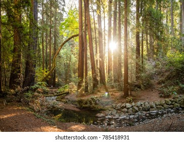 Bright sun shines between tall trees and a small creek on a hiking trail in Muir Woods