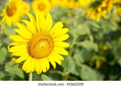 Bright Sunflower close up in field