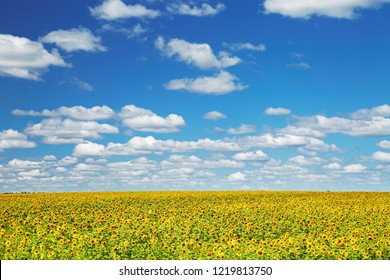 Bright sunflower field and blue sky