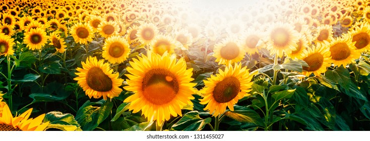 Bright sunflower field header with lens flare. Sunflower field