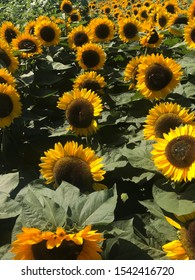 Bright sunflowers are blooming in the summer,sunflowers under sunshine look like smile faces,sunflowers filled on the farm