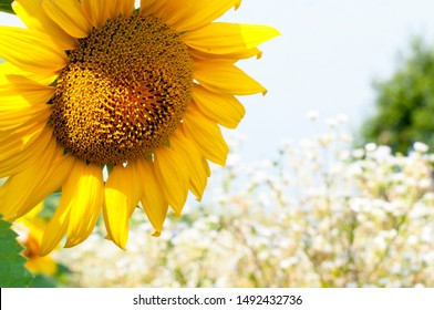 bright sunflowers on a large field on a sunny day