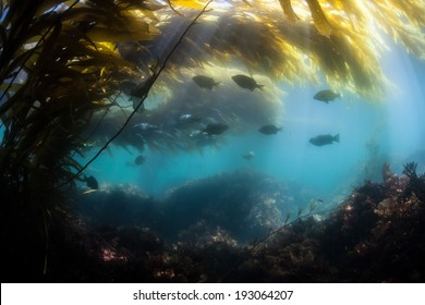 Bright sunlight filters down through blades of giant kelp (Macrocystis pyrifera) to illuminate the shadows of a kelp forest growing along the coast of northern California.
