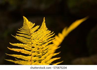 Bright sun-lit fern against a dark woodland.