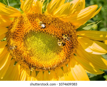 Bright sunlit sunflower closeup with bees