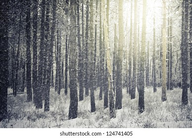 Bright sunny pine forest in the snow