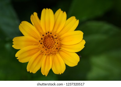 Bright, sunny and yellow daisy flower closeup in nature