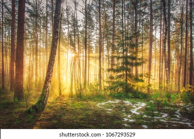 Bright sunrise and sunshine in picturesque spring forest in morning. Sun rays through trees of forest. Scenic natural landscape. Sunlight in woodland. Early spring in green forest