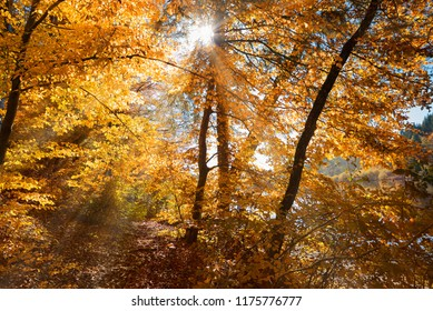 bright sunshine through autumal beech leaves, footpath in the forest