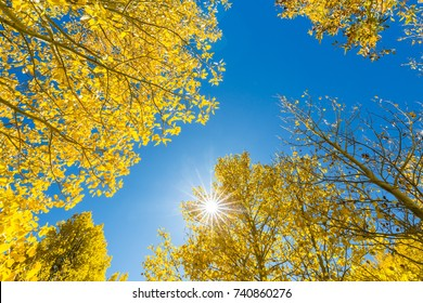 Bright sunshine through golden fall foliage with a pure blue sky in the background. Beautiful Eastern Sierra autumn. Close to South Lake Road in Bishop, California.