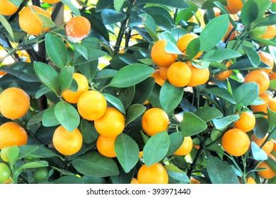 Bright tangerine on a green tree. China.