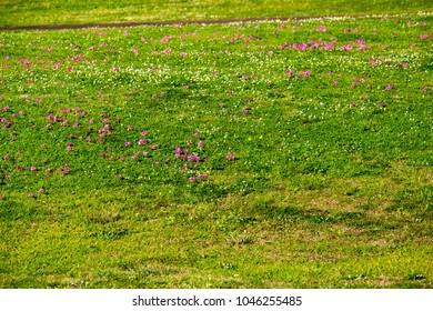 Bright tiny pink flowers of Guildford Grass or Onion Grass from South Africa is a common weed in West Australian pastures and crops spreading by a tiny bulb underground.