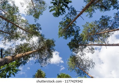 Bright tree tops in a pine tree forest in a low perspective image